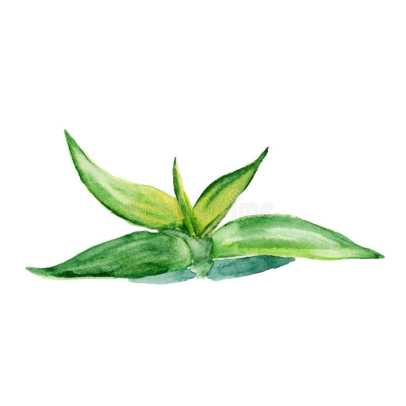 Áloe del succulent de la acuarela Pintura dibujada mano original de la acuarela aislada en blanco stock de ilustración