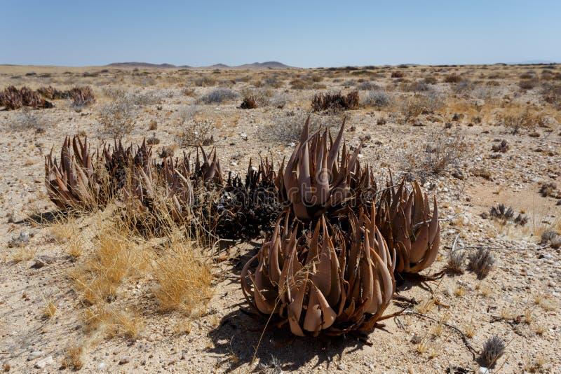 Áloe floreciente en el desierto de Namibia imagen de archivo