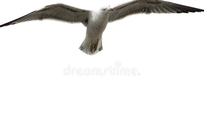 Ángel de la gaviota Gaviota que asoma sobre fondo blanco llano imagen de archivo