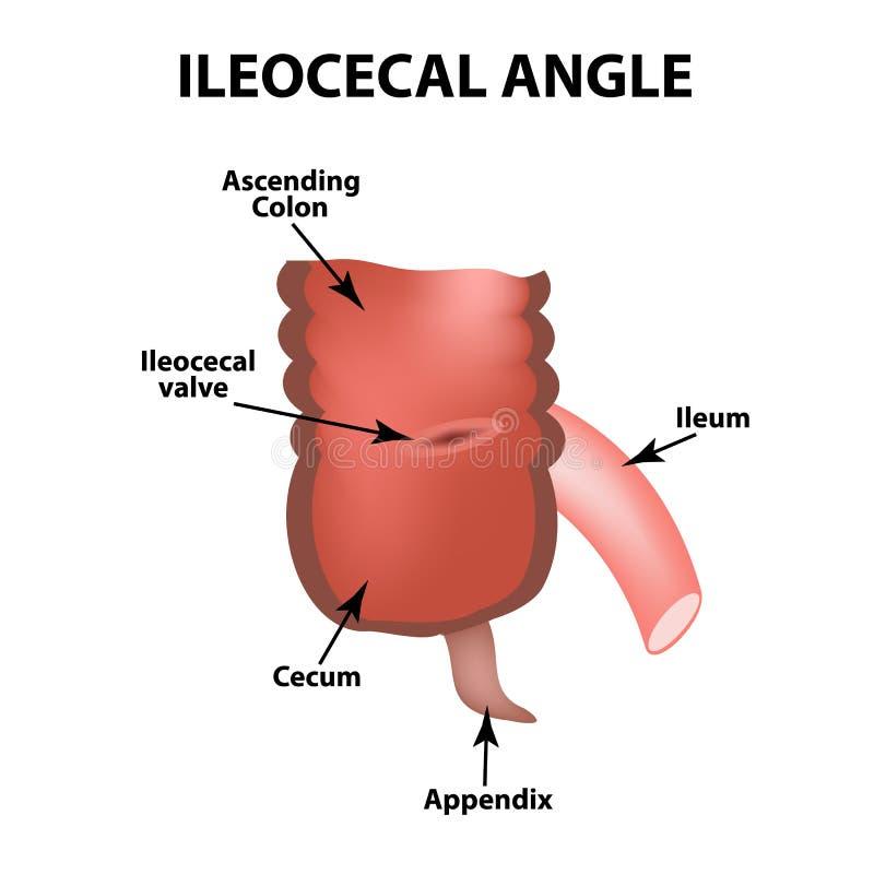 Ángulo Ileocecal Válvula Ileocecal Apagador De Bauginiev S El íleo ...