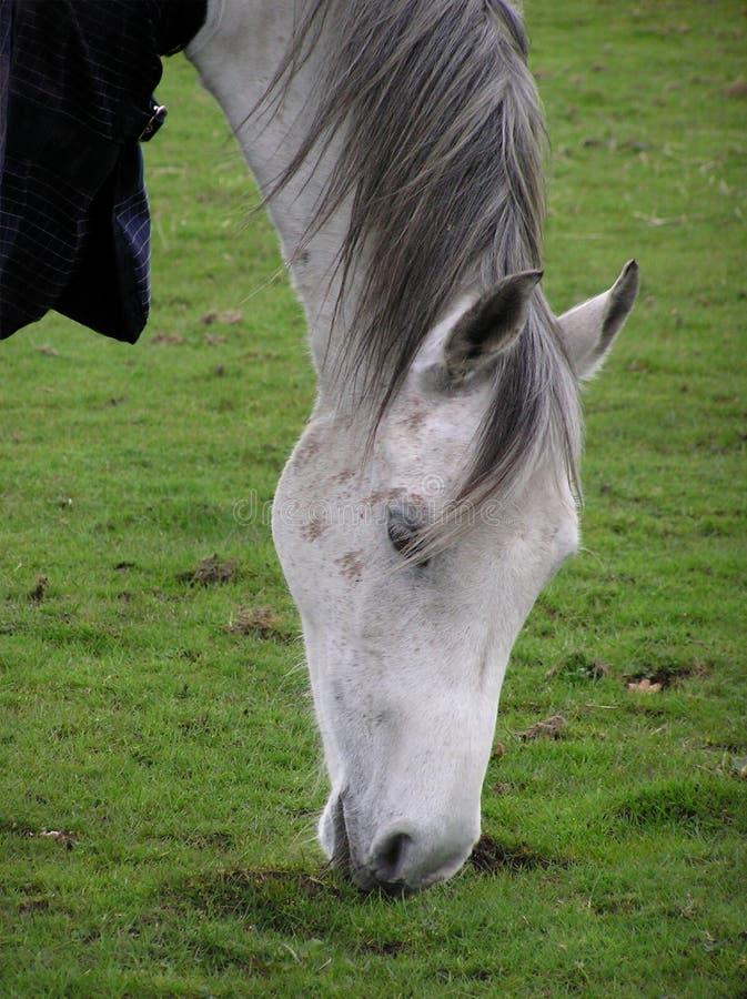 Download Árabe imagem de stock. Imagem de arabian, pônei, equine - 110259
