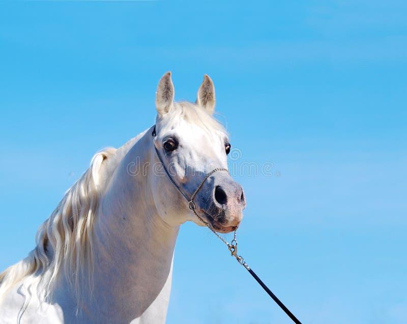 Árabe do cavalo branco imagens de stock