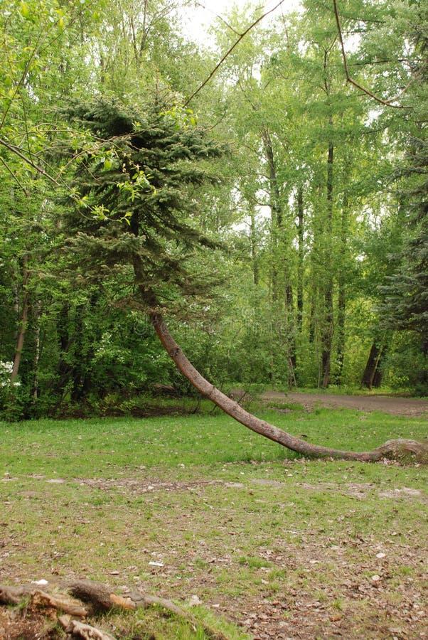 Árbol único en el bosque del parque en el d3ia de la primavera fotos de archivo