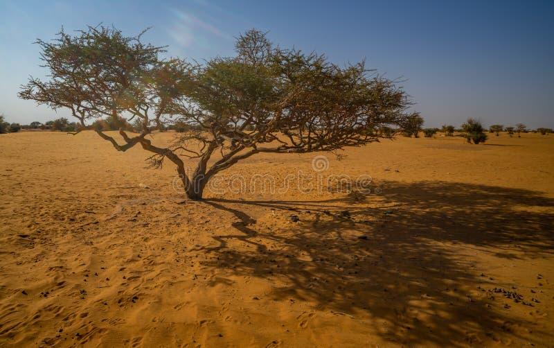Árbol Acacieae del acacia en el desierto de Sudán, Sáhara imágenes de archivo libres de regalías