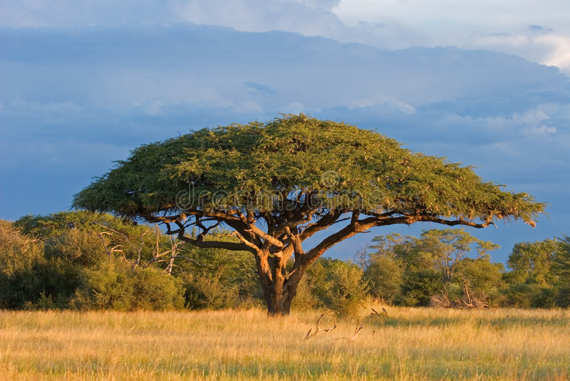 Árbol africano del acacia fotografía de archivo