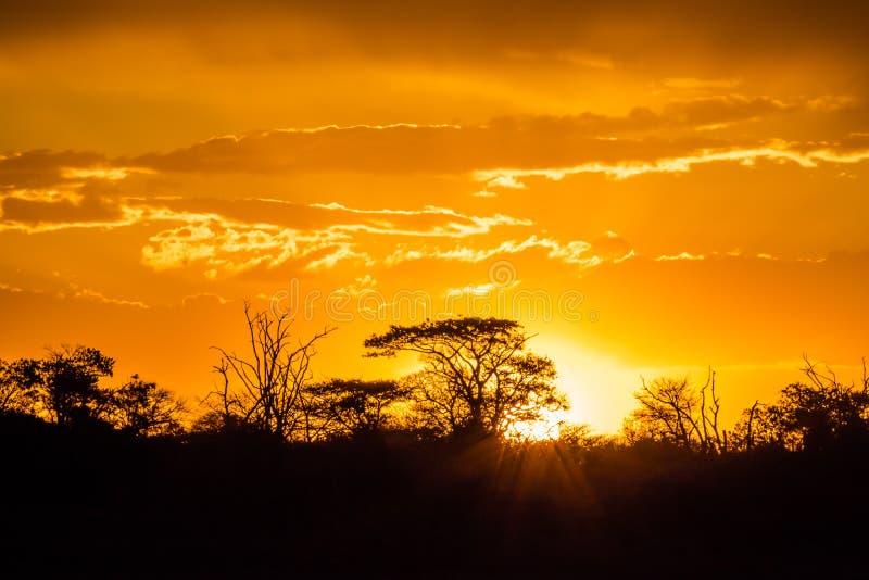 Árbol africano en la puesta del sol fotos de archivo
