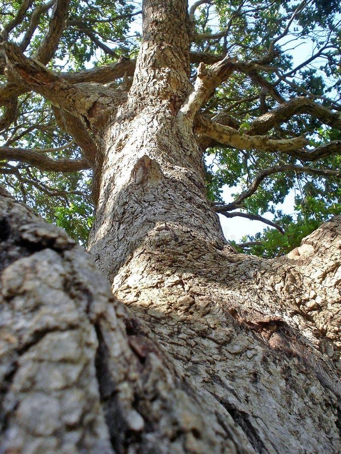Árbol africano majestuoso hermoso desde un diverso punto de vista foto de archivo