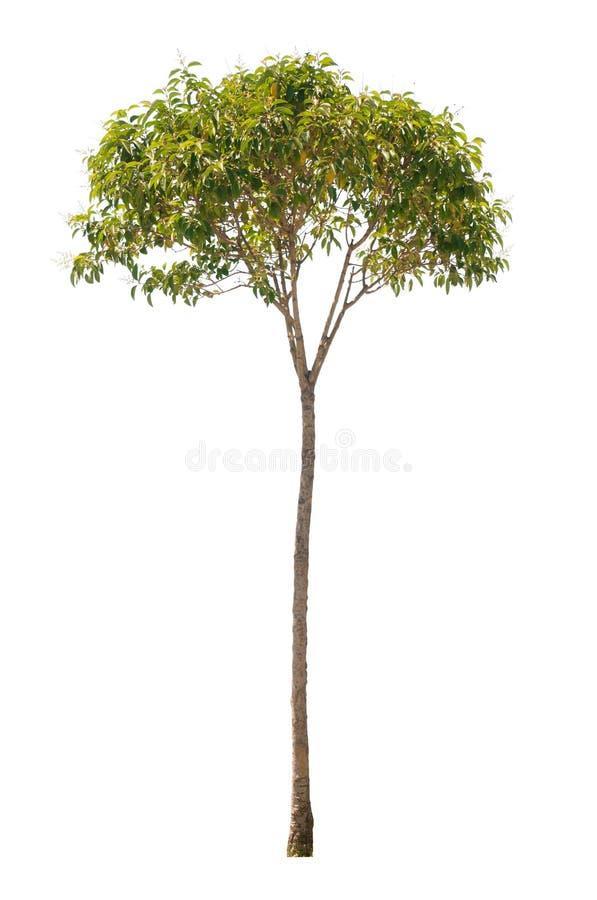 Árbol aislado fotos de archivo libres de regalías