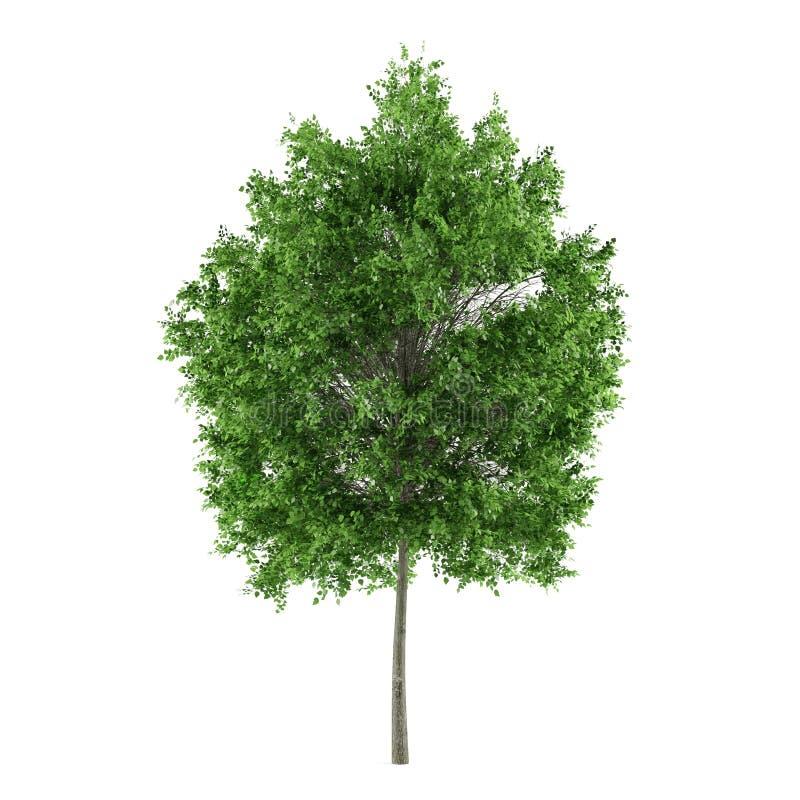 Árbol aislado. Cordata del Tilia de la cal fotos de archivo