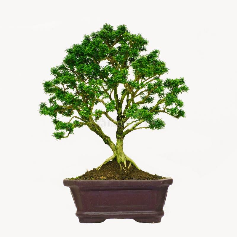 Árbol aislado de los bonsais - enano del paniculata de Murraya  foto de archivo libre de regalías