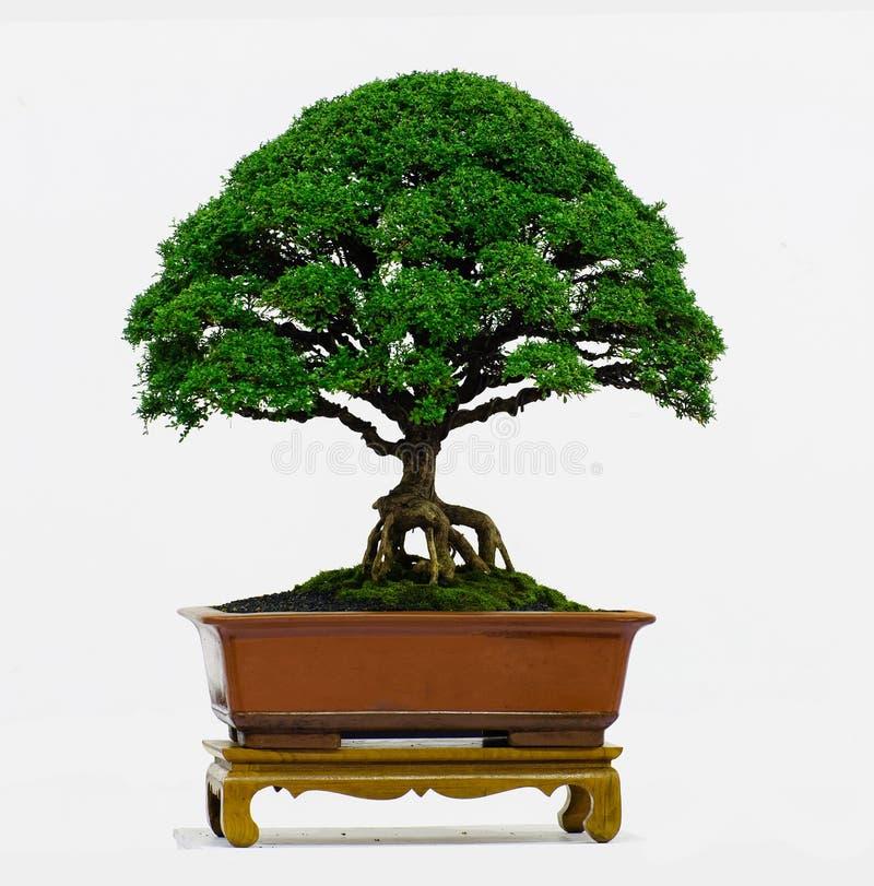 Árbol aislado de los bonsais - enano del paniculata de Murraya fotografía de archivo libre de regalías