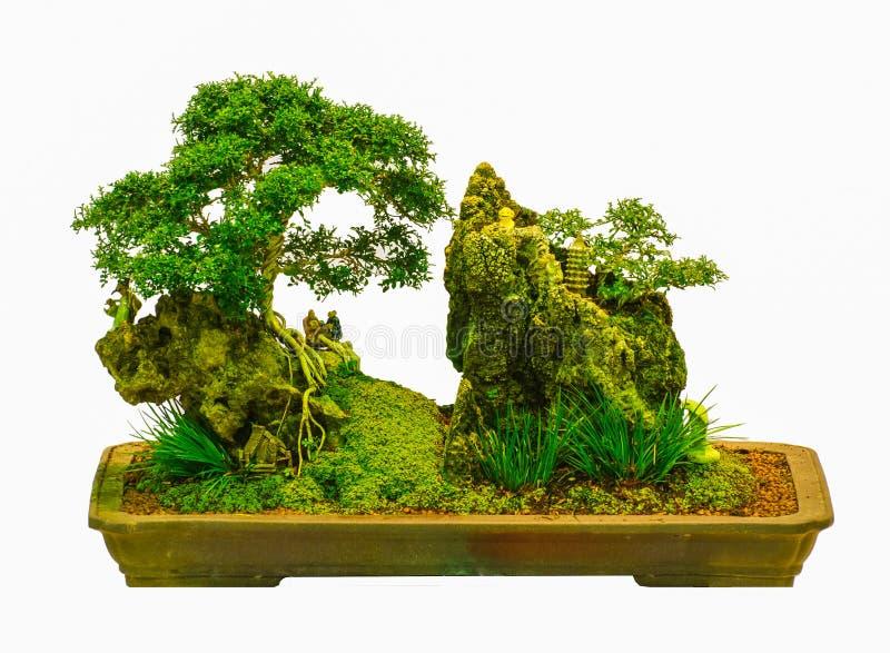 Árbol aislado de los bonsais - paniculata de Murraya imágenes de archivo libres de regalías