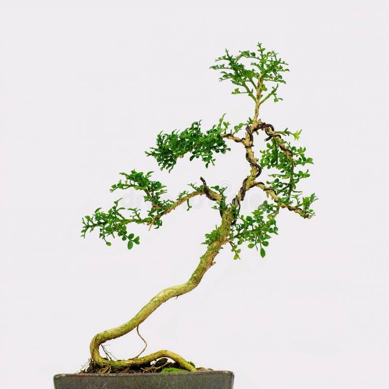 Árbol aislado de los bonsais - paniculata de Murraya foto de archivo libre de regalías