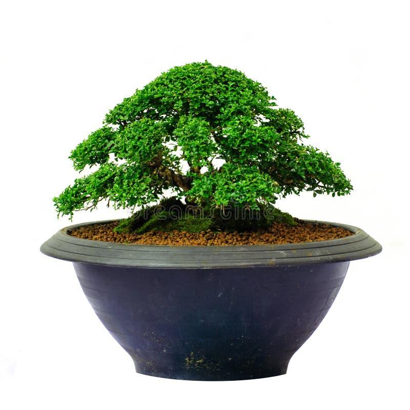 Árbol aislado de los bonsais - paniculata de Murraya imagen de archivo