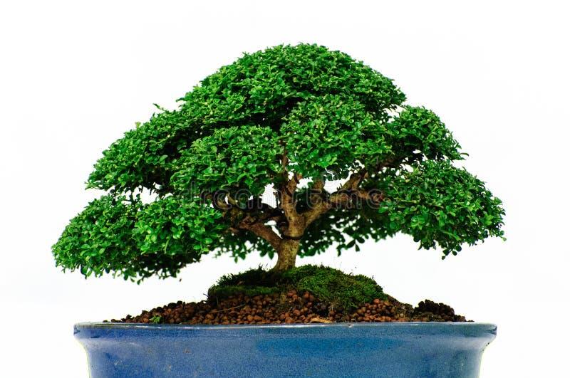 Árbol aislado de los bonsais - paniculata de Murraya fotos de archivo