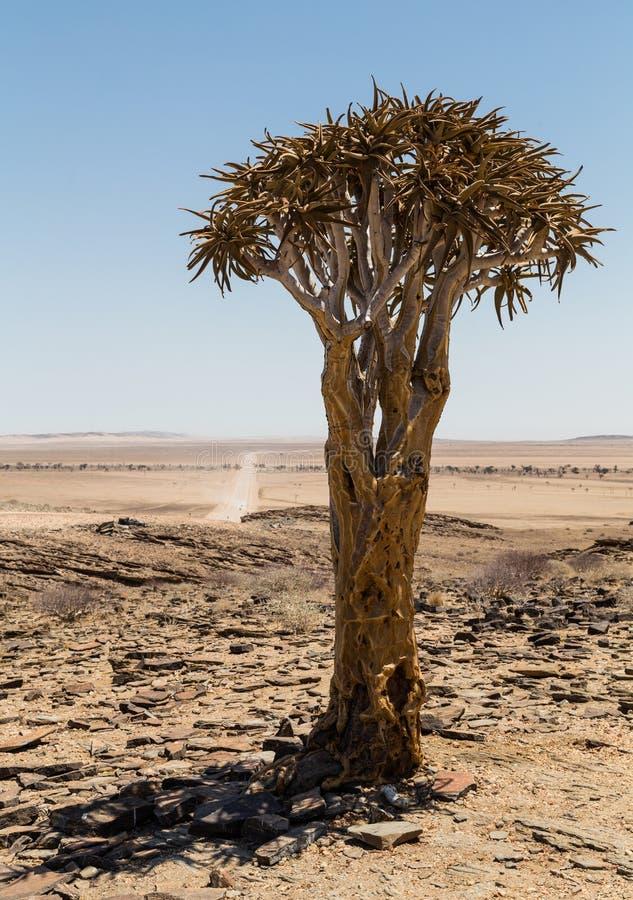 Árbol aislado del estremecimiento, áloe Dichotoma foto de archivo libre de regalías