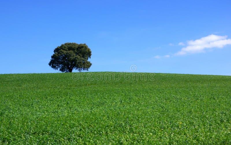 Árbol aislado en campo. fotografía de archivo libre de regalías