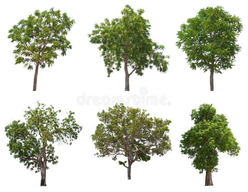 Árbol aislado en el fondo blanco imagenes de archivo