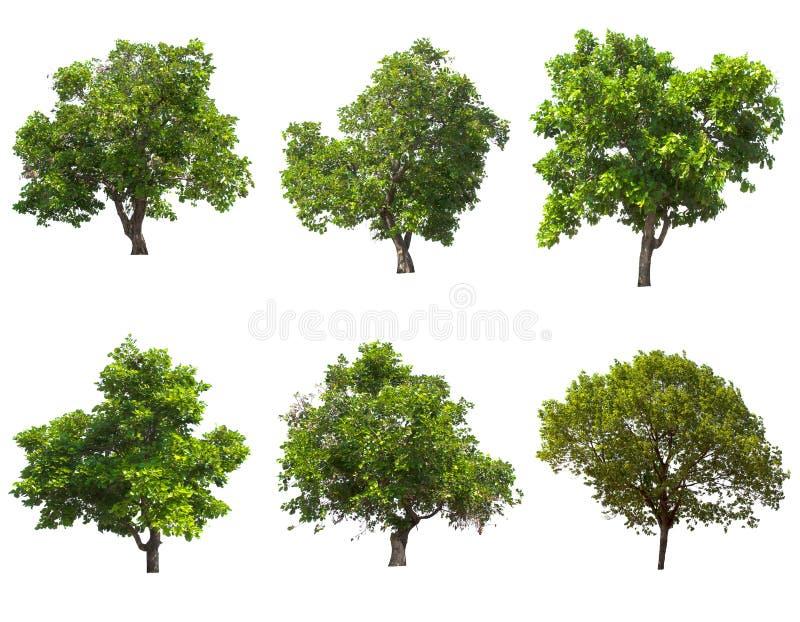 Árbol aislado en el fondo blanco fotografía de archivo