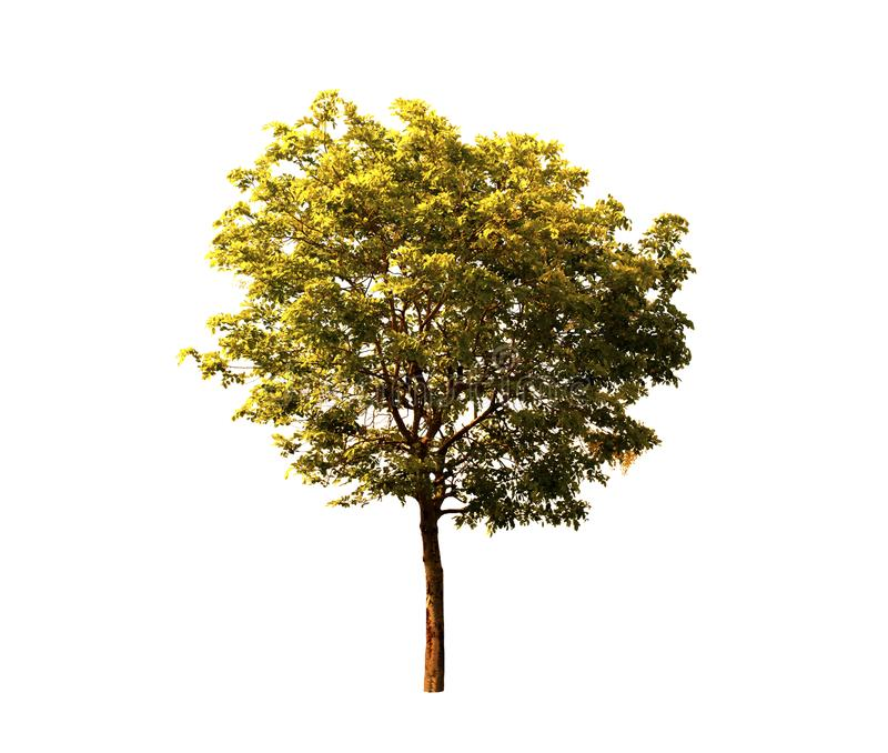 Árbol aislado en el fondo blanco con la trayectoria de recortes, árbol de la fístula de la casia en el borde de la carretera en e foto de archivo libre de regalías