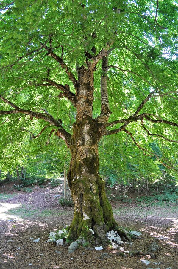 Árbol aislado - parque nacional de Lovcen imagenes de archivo
