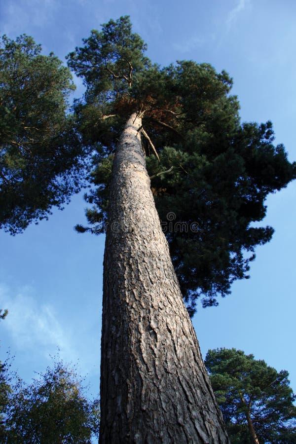 Árbol alto foto de archivo libre de regalías