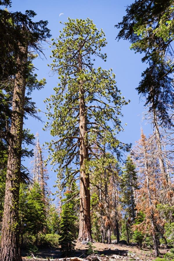 Árbol alto de Pinus Ponderosa del pino ponderosa que crece en el parque nacional de Yosemite, montañas de Sierra Nevada, Californ imágenes de archivo libres de regalías