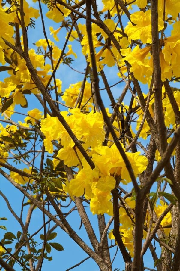 Árbol amarillo del algodón fotos de archivo