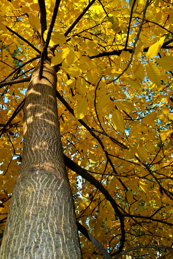 Árbol amarillo grande con la rama hermosa fotos de archivo