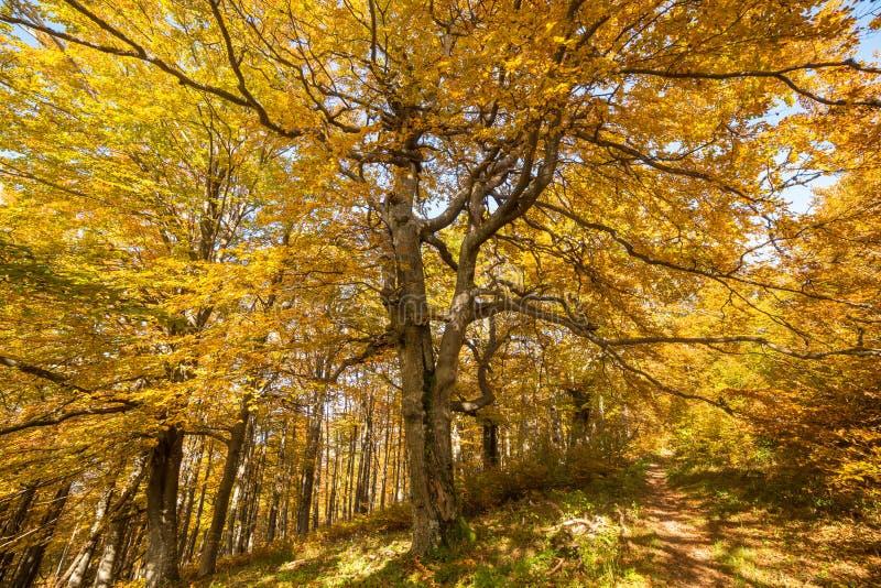 Árbol amarillo hermoso del otoño en el bosque foto de archivo