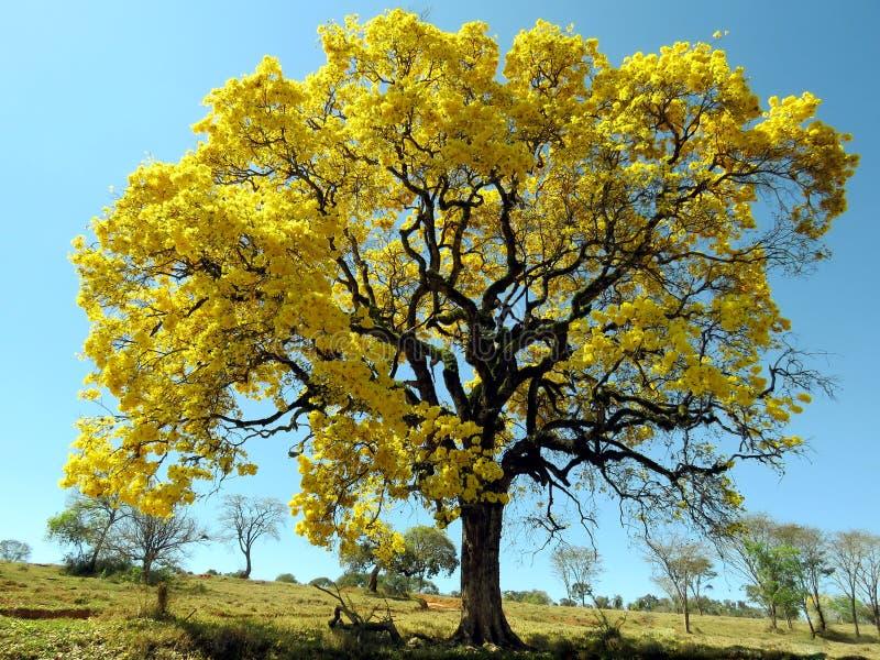 Árbol amarillo y x28; Albus& x29 de Handroanthus; fotos de archivo
