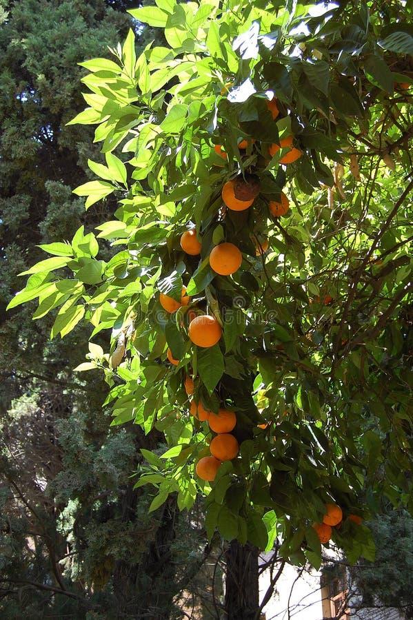 Árbol anaranjado con las naranjas en Alhambra Granada, España imagen de archivo
