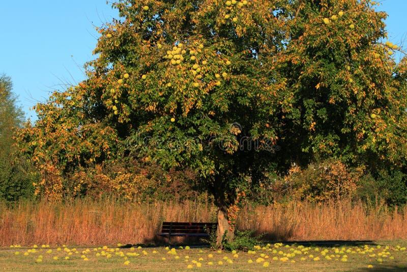 Árbol anaranjado de Osage imagen de archivo