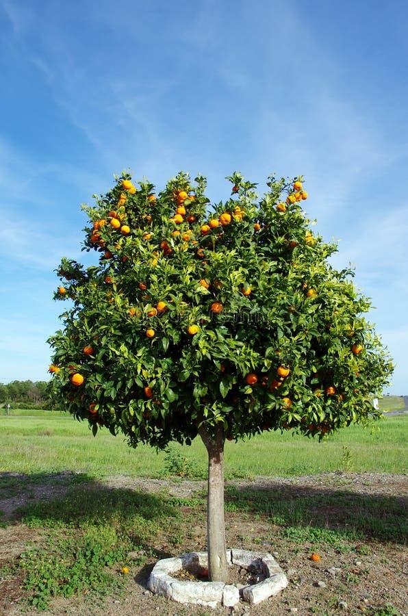 Árbol anaranjado en campo fotografía de archivo