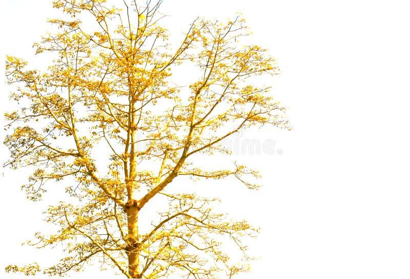 Árbol anaranjado en el fondo blanco, aislado imagen de archivo libre de regalías
