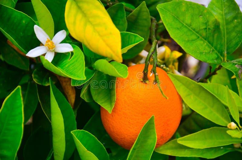 Árbol anaranjado en flor imágenes de archivo libres de regalías