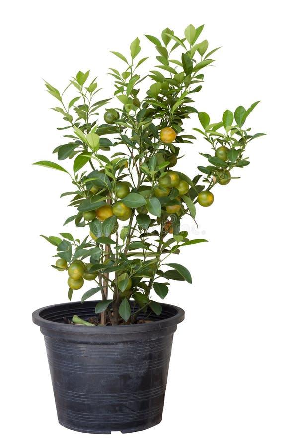 Árbol anaranjado o fruta cítrica Japonica Thunb en el pote plástico aislado en el fondo blanco fotos de archivo libres de regalías