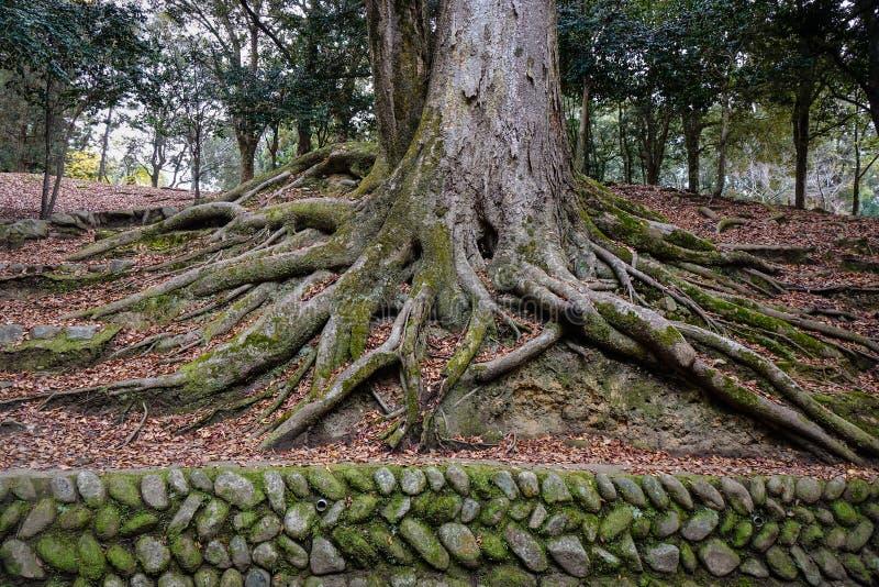 Árbol antiguo con el musgo verde en el parque fotografía de archivo
