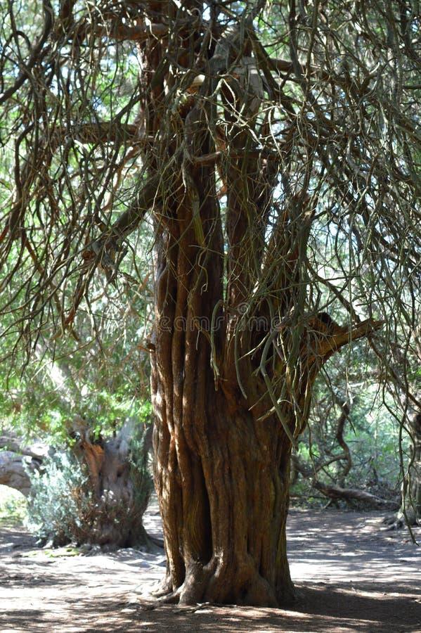 Árbol antiguo del tejo en el valle de Kingley imagen de archivo libre de regalías