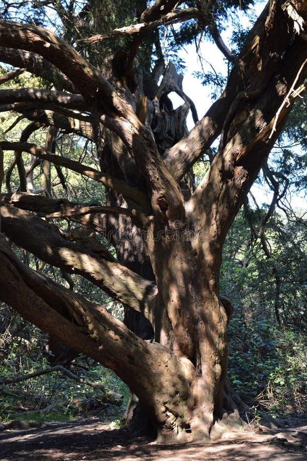 Árbol antiguo del tejo en el valle de Kingley imagen de archivo