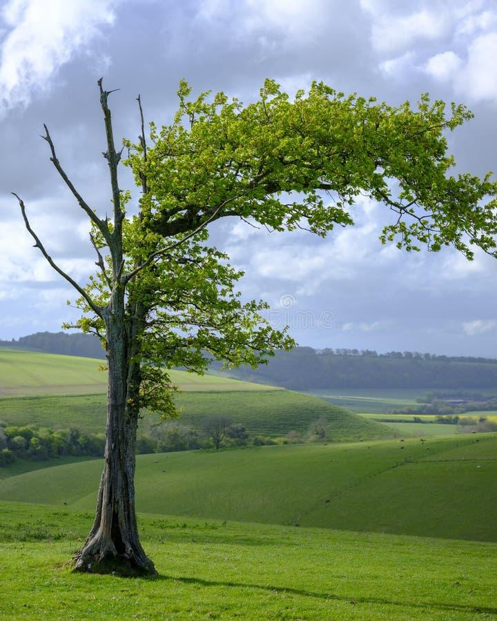 Árbol azotado por el viento en los plumones del sur parque nacional, Reino Unido imagenes de archivo