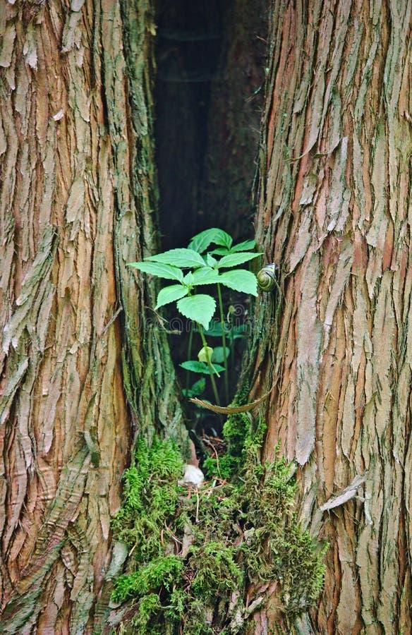 Árbol bifurcado con la planta verde y el caracol foto de archivo libre de regalías