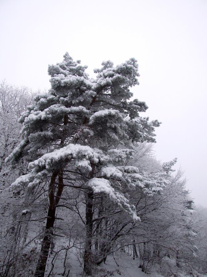 Árbol blanco imagen de archivo