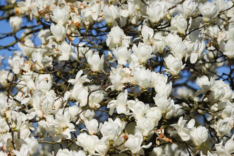 Árbol blanco de la magnolia en la plena floración imagenes de archivo