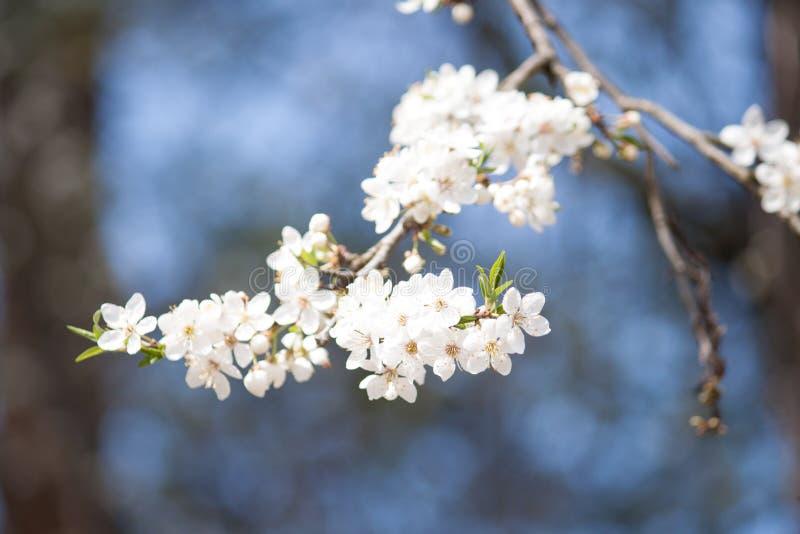Árbol blanco del flor en el fondo azul Resorte temprano fotografía de archivo