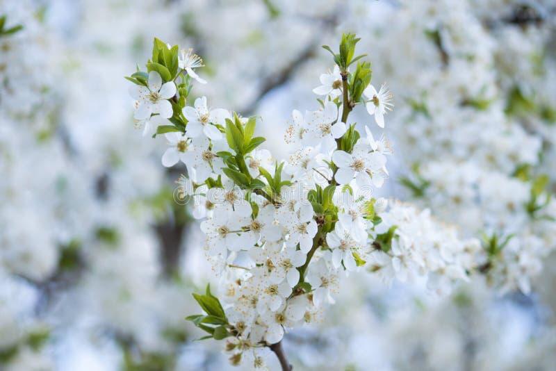 Árbol blanco del flor en el fondo blanco Resorte temprano foto de archivo