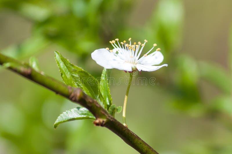Árbol blanco del flor en el fondo verde Resorte temprano foto de archivo