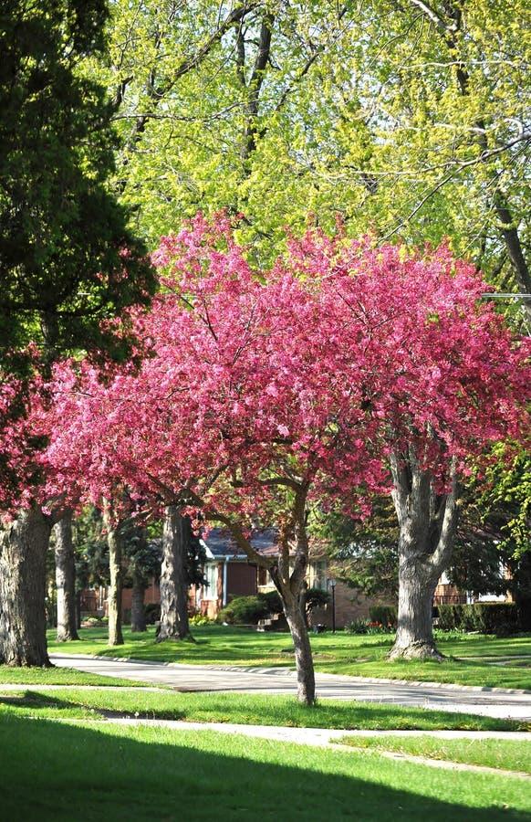 Árbol bonito del crabapple de la primavera imagenes de archivo