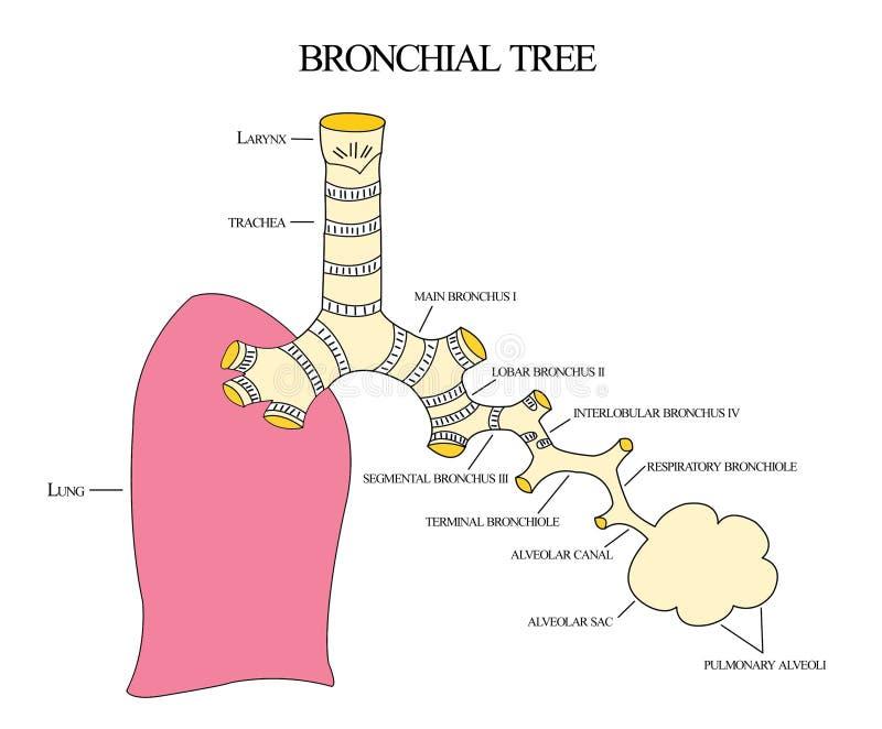 Árbol bronquial stock de ilustración