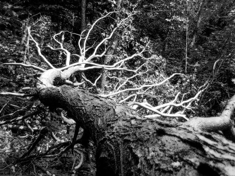 Árbol caido en blanco y negro imagen de archivo libre de regalías